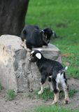 Young goats. Young baby goats from Warsaw Zoological Garden Royalty Free Stock Image