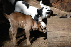 Young goats Royalty Free Stock Photos