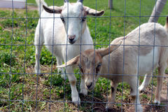 Young goats Stock Photography
