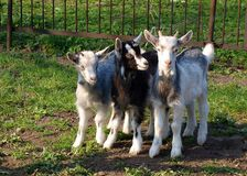 Young goats. Three young goats on the green grass Stock Images