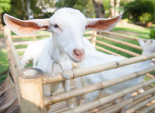 Young Goats. Lateral of goats in bamboo cage royalty free stock images