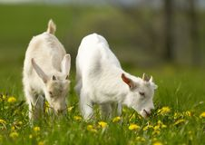 Young goats. On flowery grass field Stock Images