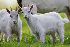 Young goats royalty free stock image