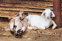 Young goats in farm Stock Photos