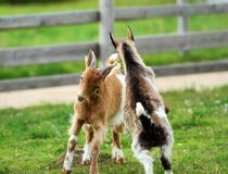 Young goats fighting Royalty Free Stock Photo
