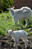 Young goats. Royalty Free Stock Photo