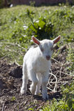 Young goats. Stock Photography