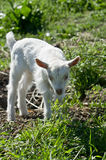 Young goats. Royalty Free Stock Photography