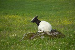 Young goats grazing Stock Images
