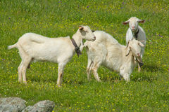 Young goats grazing Stock Photography