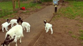 Young goats jumping around in an enclosure