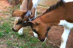Young Goats Play Fighting. Two young goats play fighting and butting heads together Stock Images