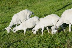 Young goats and sheep in pasture Stock Image