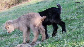Young goats. Two baby goats playing on a field stock video footage
