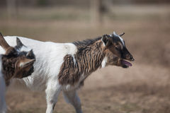 Young goats Royalty Free Stock Images