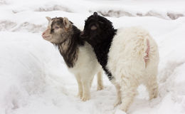 Young goats Royalty Free Stock Photo