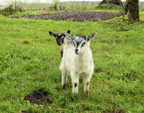 Young goats Stock Images