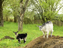 Young goats Royalty Free Stock Photography