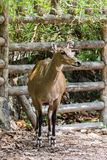 Young goitered gazelle looking suspicious in Chiangmai Zoo Stock Image