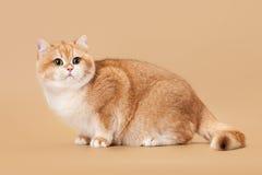 Young golden british cat Stock Photos