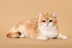 Young golden british cat Royalty Free Stock Photos