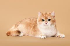 Young golden british cat Royalty Free Stock Photos
