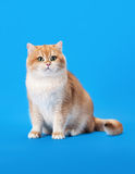 Young golden british cat Stock Image
