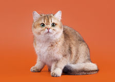 Young golden british cat Stock Photo