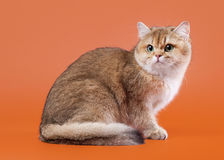 Young golden british cat Royalty Free Stock Images