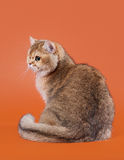 Young golden british cat Royalty Free Stock Image