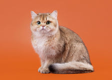 Young golden british cat on nuts brown background Royalty Free Stock Image