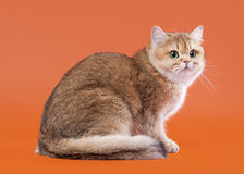 Young golden british cat on nuts brown background Royalty Free Stock Images