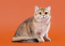 Young golden british cat on nuts brown background Stock Photo