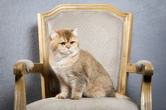 Cat. Young golden british kitten on gray textured background Stock Photos