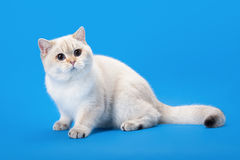 Young golden color point british kitten Royalty Free Stock Images