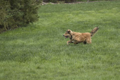 Young Golden Dog Sprinting. A golden shepherd husky mix pup runs through a lush green lawn. The dog has a snub nose, floppy ears, and a bushy tail. This is one Stock Image