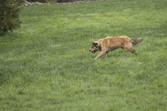Young Golden Dog Sprinting. A golden shepherd husky mix pup runs through a lush green lawn. The dog has a snub nose, floppy ears, and a bushy tail. This is one Stock Photos