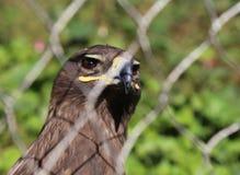 Young golden eagle (Aquila chrysaetos) Stock Photos
