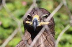 Young golden eagle (Aquila chrysaetos) Stock Photo