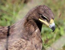 Young golden eagle (Aquila chrysaetos) Stock Photography