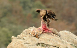 A Young golden eagle Stock Images