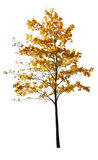 Young golden isolated maple Royalty Free Stock Photo