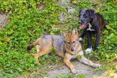 Young golden jackal (Canis aureus) and a dog Royalty Free Stock Photography