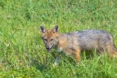 Young golden jackal (Canis aureus) Stock Photos