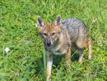 Young golden jackal (Canis aureus) Royalty Free Stock Image