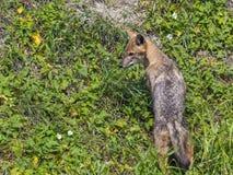 Young golden jackal (Canis aureus) Stock Photography