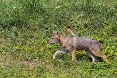 Young golden jackal (Canis aureus) Royalty Free Stock Photography