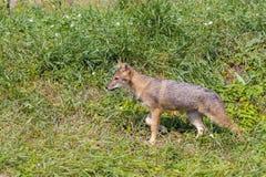 Young golden jackal (Canis aureus) Stock Image