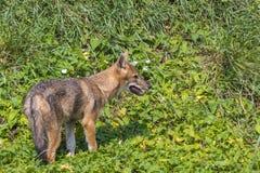 Young golden jackal (Canis aureus) Stock Photo
