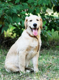 Young Golden Retriever Royalty Free Stock Image